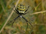 Argiope bruennichi